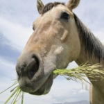 Langer Kauwen Paarden