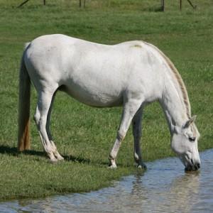 Drinkend paard